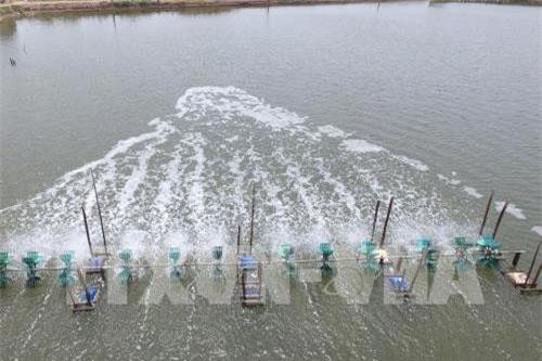 Nghề nuôi tôm nước mặn và nước lợ tại Trà Vinh . Ảnh: Hồng Nhung - TTXVN