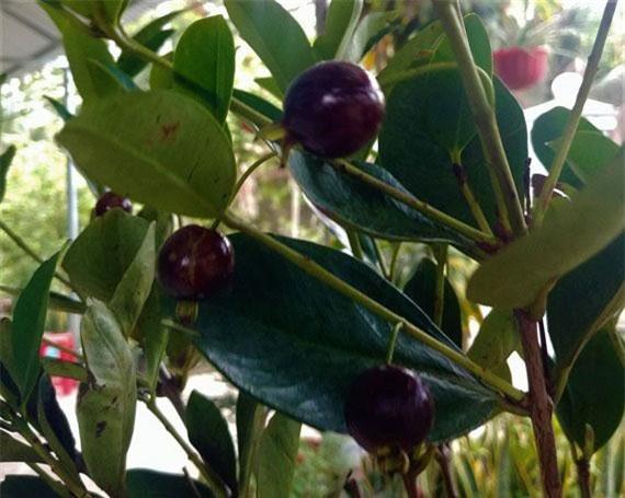 Trái cherry nhập khẩu có giá khá cao tại Việt Nam.