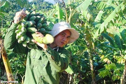 Một người dân thu hoạch chuối từ rẫy.