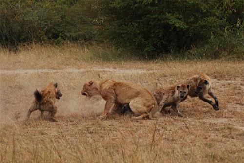 Sư tử bị bầy linh cẩu tấn công. Ảnh minh họa.