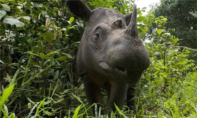 Xác nhận: Loài tê giác 2 sừng tại Malaysia đã chính thức tuyệt chủng - Ảnh 5.