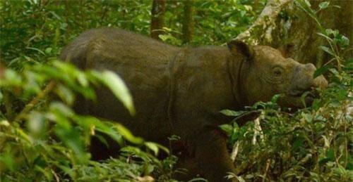 Tam - chú tê giác 2 sừng cuối cùng tại Malaysia
