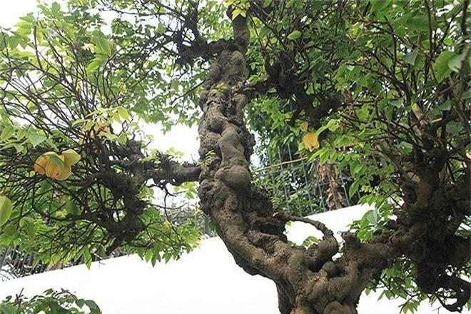 Choang vang khe bonsai tien ty uon luon hon ca duong cong Ngoc Trinh-Hinh-10