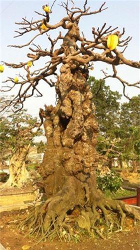 Choang vang khe bonsai tien ty uon luon hon ca duong cong Ngoc Trinh-Hinh-2