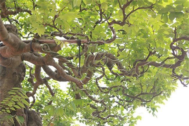Choang vang khe bonsai tien ty uon luon hon ca duong cong Ngoc Trinh-Hinh-3
