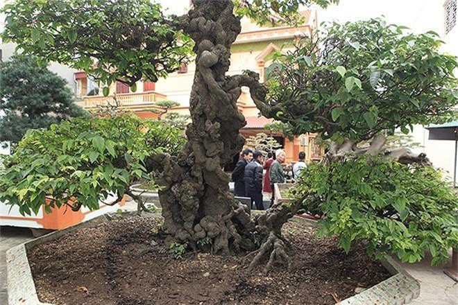 Choang vang khe bonsai tien ty uon luon hon ca duong cong Ngoc Trinh-Hinh-9