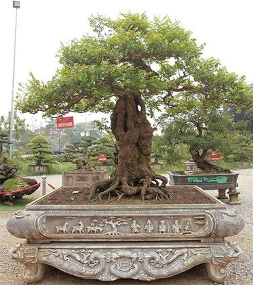Tại triển lãm Sinh vật cảnh Dũng Tân năm 2019 (TP Sông Công, Thái Nguyên), cây khế dáng trực của ông Nguyễn Hồng Quang thu hút sự chú ý của khách tham quan với các u cục sần sùi, chứng tỏ cây nhiều năm tuổi. Ảnh: Dân Việt.