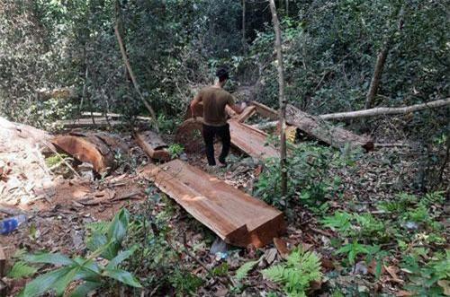 Những cây gỗ bị lâm tặc đốn hạ.
