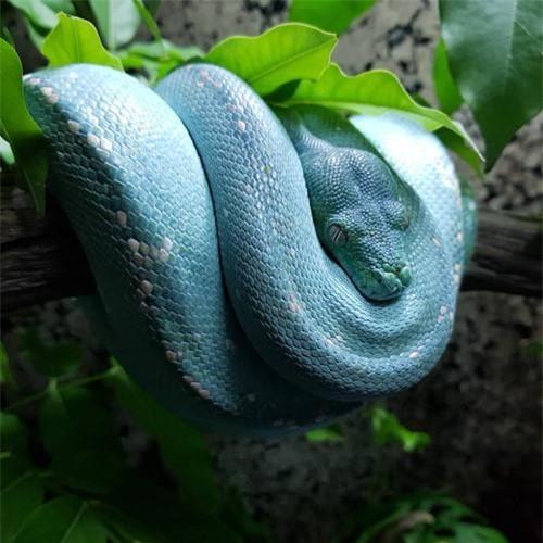 Trong quan niệm của nhiều người, trăn, rắn là loài bò sát đáng sợ. Chúng không chỉ có một ngoại hình gây ám ảnh, còn sở hữu răng năng nhọn hoắt cùng nọc độc cực mạnh và những cú siết mồi chết chóc.