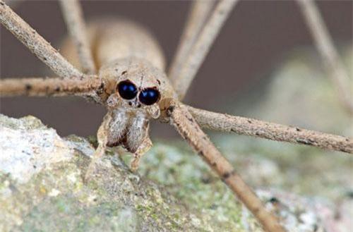 Nhện mặt quỷ. Đôi mắt to đen u ám nổi bật trên khuôn mặt khiến loài động vật này trông vô cùng nham hiểm. Nó thường dùng 4 đôi chân trước để giữ mạng nhện khi treo ngược người để bẫy con mồi.