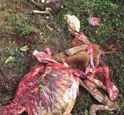Trộm đã lọc lấy hết phần thịt bỏ lại bộ xương cùng chú bê mới sinh (nguồn: Facebook)