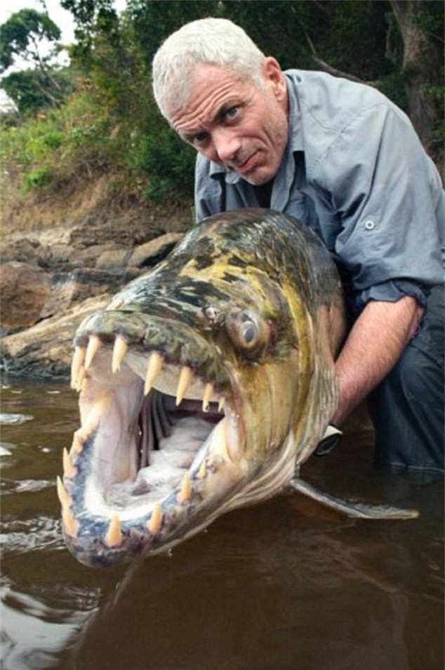 Một con cá hổ với hàm răng lởm chởm như cá mập trắng ở sông Congo