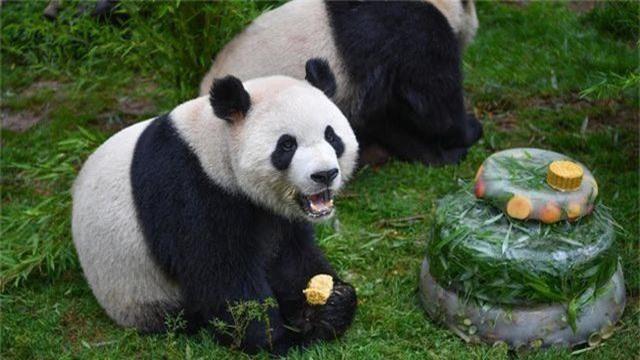 Sở thú lấy phân gấu trúc làm quà tặng cho du khách - 3