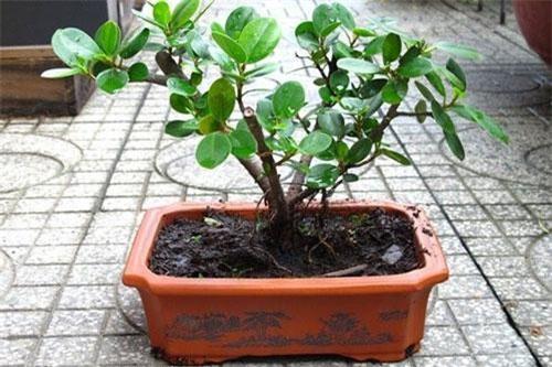 Cây đa bonsai: Cây đa thường có rễ rất to, thô và điều này trong phong thủy bị coi là gây mất cân bằng cho ngôi nhà của bạn, gây ảnh hưởng tới việc làm ăn, sức khỏe của những người sống trong nhà.