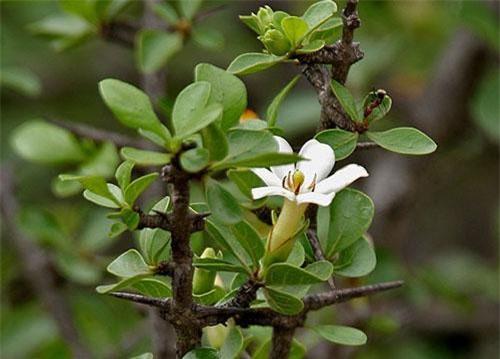 Cây găng trâu có tên khoa học là Catunaregam spinosa. Đây là loại cây gỗ nhỏ, rất nhiều cành, trên cành rất nhiều gai dài 5mm - 15mm. Lá cây hình bầu dục, hoa màu vàng nhạt hay trắng nhạt, quả mọng màu vàng nhạt. Ảnh: thaythuoccuaban.