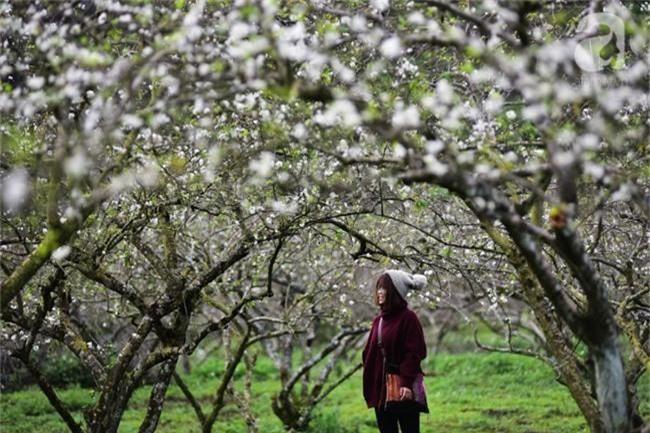 Ngược lên Mộc Châu tháng hai mùa xuân, ngắm hoa mận nở trắng trời - Ảnh 5.
