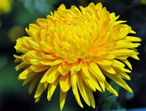 Hoa cúc vàng.