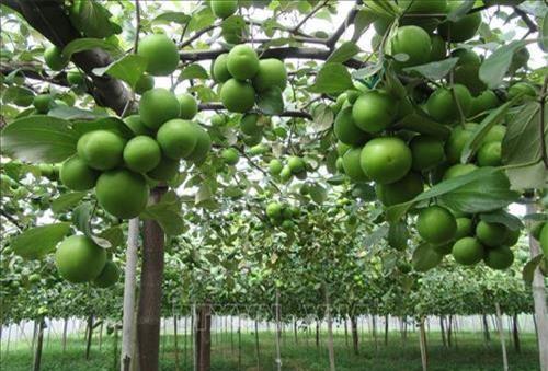 Vườn táo bao lưới chuẩn bị thu hoạch. Ảnh: Nguyễn Thành - TTXVN