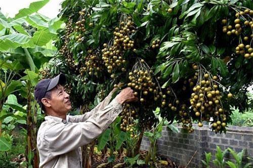 Sản lượng nhãn Sơn La năm nay đạt khoảng 30.000 tấn.
