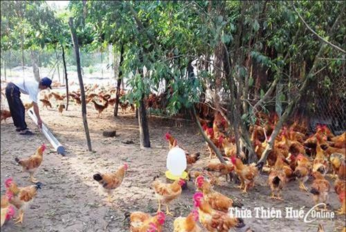 Được tạo điều kiện cấp đất sản xuất, chủ động nguồn vốn, anh Hồ Đăng Định ở xã Quảng Vinh (Quảng Điền) từ chủ quán cà phê ở phường Tứ Hạ đã trở thành chủ trang trại trên vùng rú cát.Ảnh: nongthonmoithuathienhue.vn