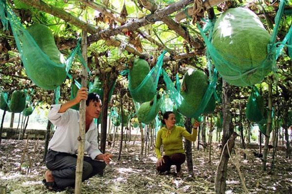 Những vị cao niên trong làng chia sẻ, nhiều người ở vùng khác tìm đến mua hạt về trồng nhưng khi cho quả, bí đao không to được như ở đây. Ảnh: Dân Việt