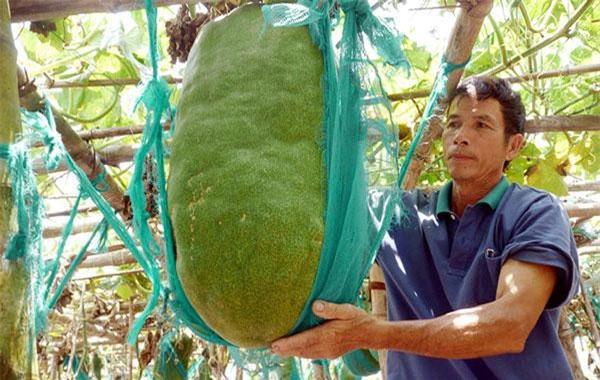Những vị cao niên trong làng chia sẻ, nhiều người ở vùng khác tìm đến mua hạt về trồng nhưng khi cho quả, bí đao không to được như ở đây. Ảnh: Thanh niên