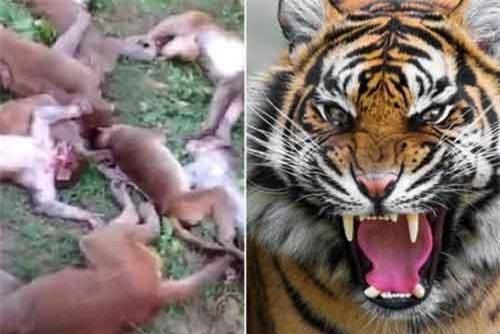 Bầy khỉ tử vong nghi vì nghe tiếng hổ gầm.