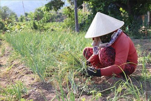Nông dân huyện Ninh Hải, Ninh Thuận thu hoạch hành tím. Ảnh: Nguyễn Thành - TTXVN