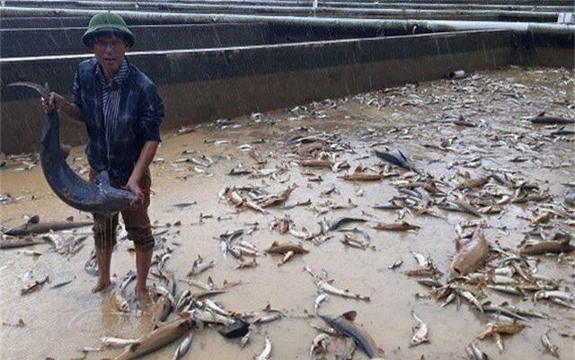 Xót xa hàng trăm tấn cá tầm trôi theo dòng nước lũ - 3