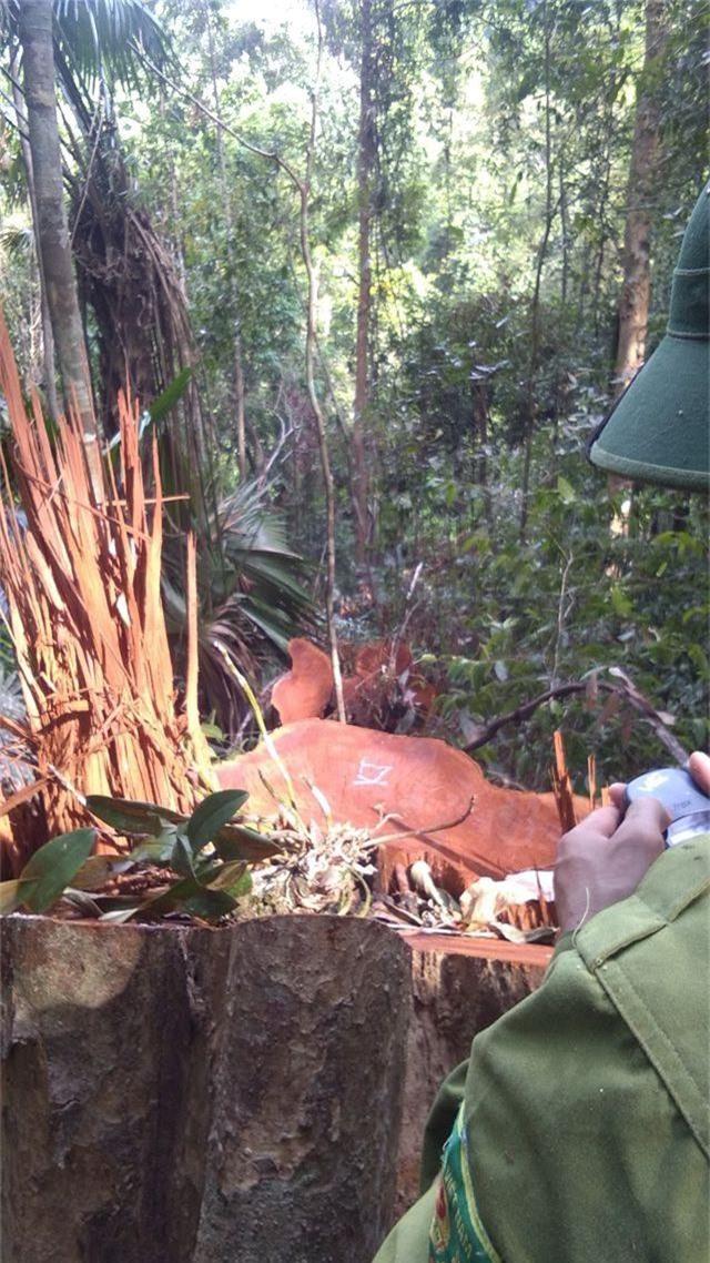 Rừng nguyên sinh Vườn quốc gia Pù Mát bị xâm hại - 2