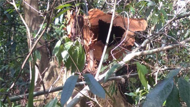 Rừng nguyên sinh Vườn quốc gia Pù Mát bị xâm hại - 4