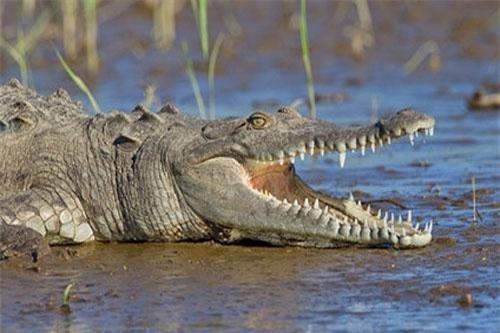 Cá sấu cổ đại có nhiều loài là động vật ăn thực vật thay vì ăn thịt