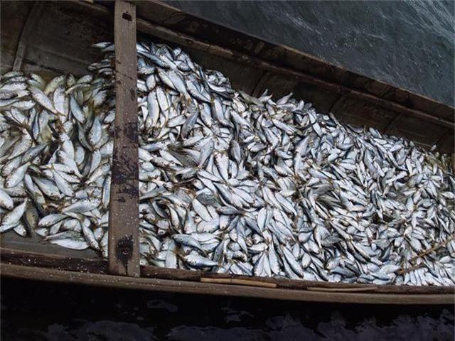 3 người dân trúng gần 2 tấn cá mòi trên sông Thạch Hãn - 2