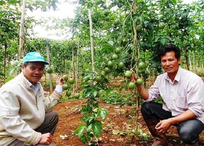 Công ty TNHH TM&DV Trường Hoàng Lâm Đồng liên kết với nông dân xây dựng vùng nguyên liệu chanh dây từ 3.000 - 3.500ha, tạo thêm cơ hội việc làm mới cho lao động địa phương