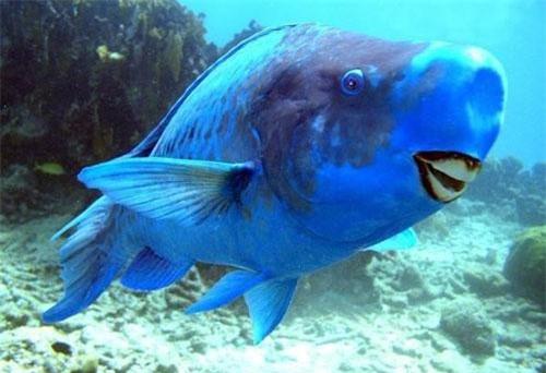 Cá vẹt lam có tên khoa học là Scarus coeruleus. Toàn thân của nó có màu xanh lam và có một điểm vàng ở trên đầu vô cùng nổi bật. Ảnh: quantrimang.