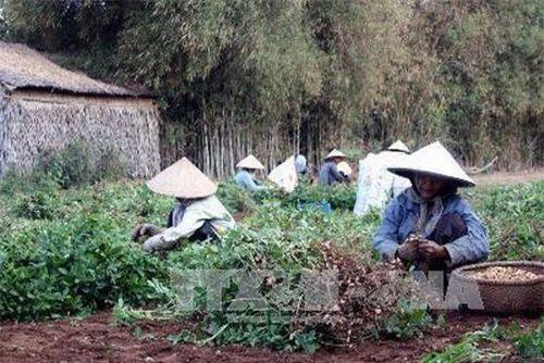 Thu hoạch lạc ở xã Mỹ Long Bắc, huyện Cầu Ngang, tỉnh Trà Vinh. Ảnh: Huy Hoàng - TTXVN