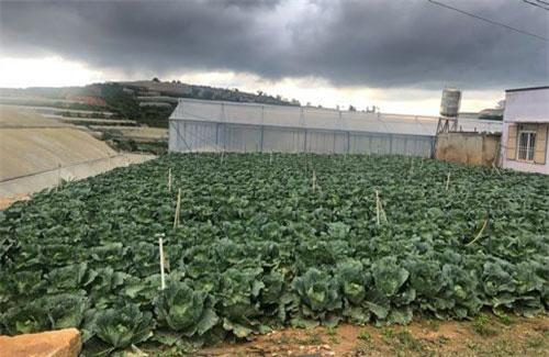Những trận mưa lũ kéo dài làm cho nhiều diện tích rau bị hư hại đẩy giá rau Đà Lạt tăng cao
