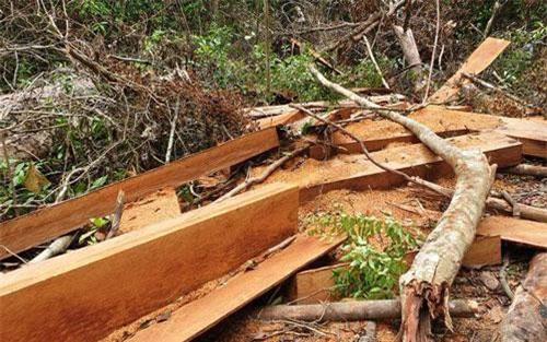 Hiện trường vụ phá rừng vừa được phát hiện tại thôn 1, xã Trà Kót, huyện Bắc Trà My