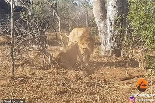 Hai con sư tử hợp tác khi phát hiện lợn rừng trú trong hang