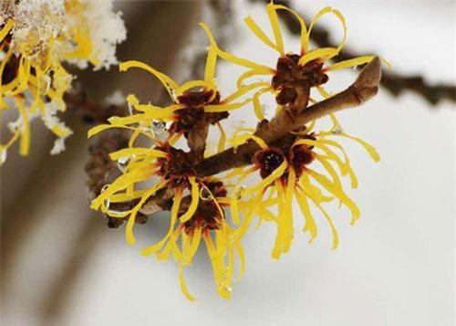Hình ảnh loài cây Hamamelis Mollis.