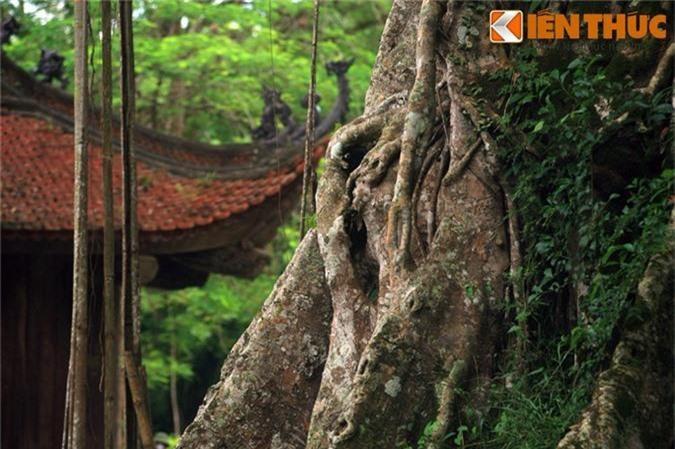 Su that nhung cay co thu huyen bi o co do Lam Kinh-Hinh-3