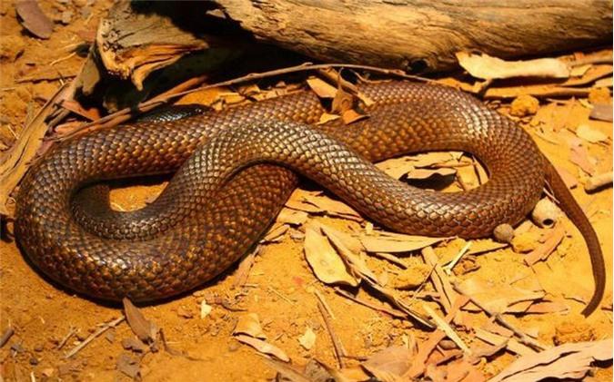 Rắn Western Brown. Còn được gọi là rắn Gwardar, là một loài rất nhanh nhẹn, rất độc. Những cú đớp của loài rắn độc này khiến nạn nhân phải trải qua những giây phút kinh hoàng vì đau đớn, sợ hãi. Kể cả khi được cứu chữa kịp thời, nọc độc của rắn Western Brown vẫn có thể để lại những di chứng khó lành. (Theo L25)