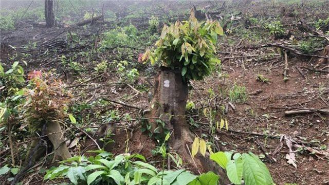 Rừng phòng hộ huyện Yên Thành, nơi nhiều cán bộ để xảy ra sai phạm.