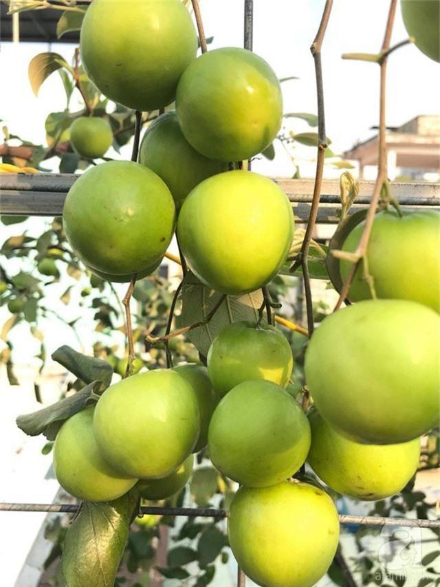 Kinh nghiệm trồng táo trên sân thượng thu hoạch không xuể của người đàn ông đảm đang ở Sài Gòn - Ảnh 10.