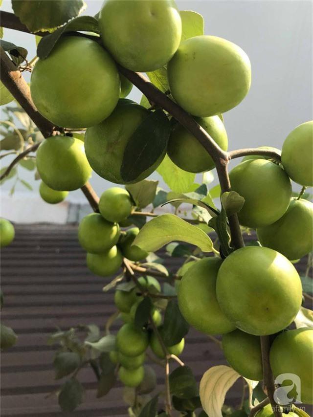 Kinh nghiệm trồng táo trên sân thượng thu hoạch không xuể của người đàn ông đảm đang ở Sài Gòn - Ảnh 11.