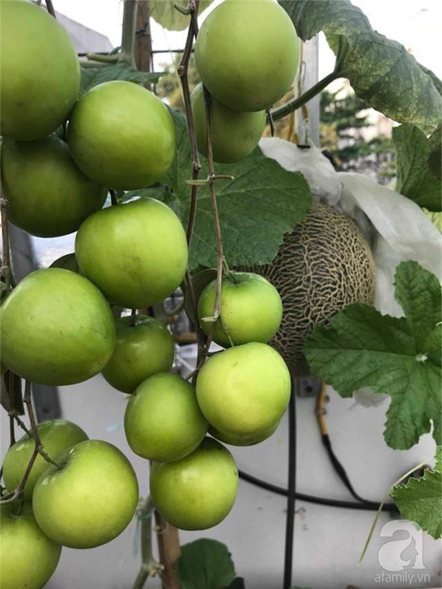 Kinh nghiệm trồng táo trên sân thượng thu hoạch không xuể của người đàn ông đảm đang ở Sài Gòn - Ảnh 12.