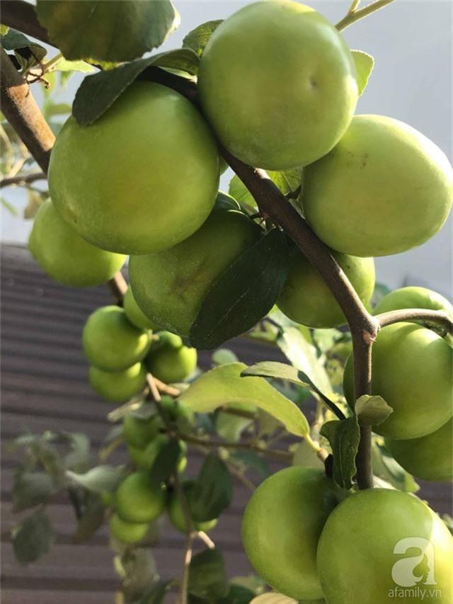 Kinh nghiệm trồng táo trên sân thượng thu hoạch không xuể của người đàn ông đảm đang ở Sài Gòn - Ảnh 13.