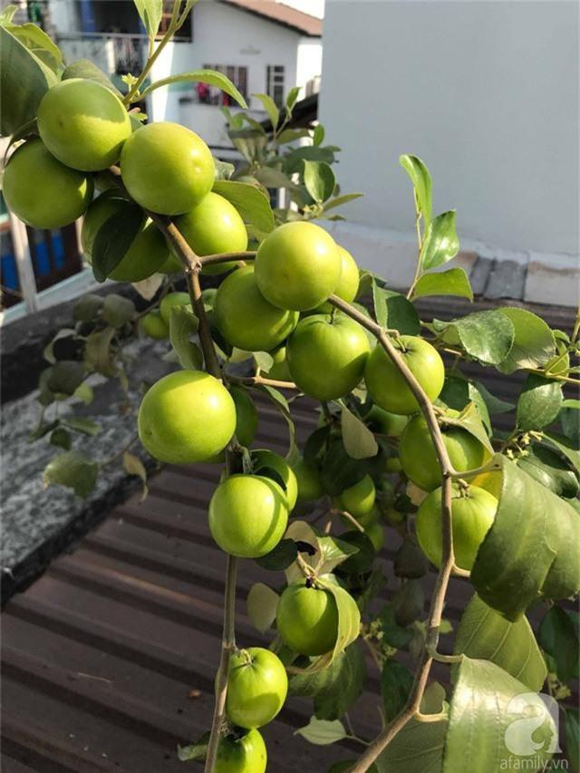 Kinh nghiệm trồng táo trên sân thượng thu hoạch không xuể của người đàn ông đảm đang ở Sài Gòn - Ảnh 14.