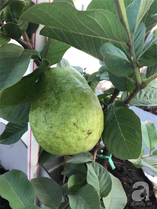 Kinh nghiệm trồng táo trên sân thượng thu hoạch không xuể của người đàn ông đảm đang ở Sài Gòn - Ảnh 17.