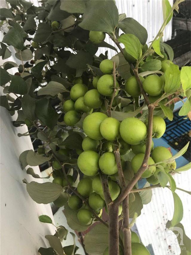 Kinh nghiệm trồng táo trên sân thượng thu hoạch không xuể của người đàn ông đảm đang ở Sài Gòn - Ảnh 4.